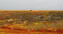 Bear at Dempster Highway