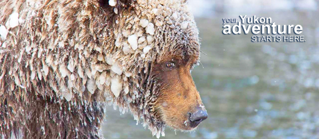 Grizzly Bären beobachtung mit Nature Tours of Yukon