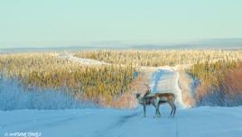 Caribou near the Arctic Circle