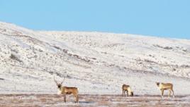 Caribou herd roaming near the Arctic Circle, Canada