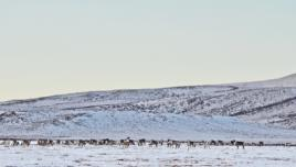 Caribou roaming near the Arctic Circle, Yukon, Canada