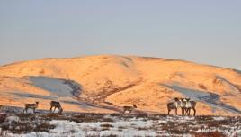 Caribou near the Arctic in Yukon